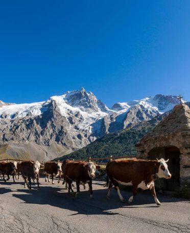Vaches en montagnes